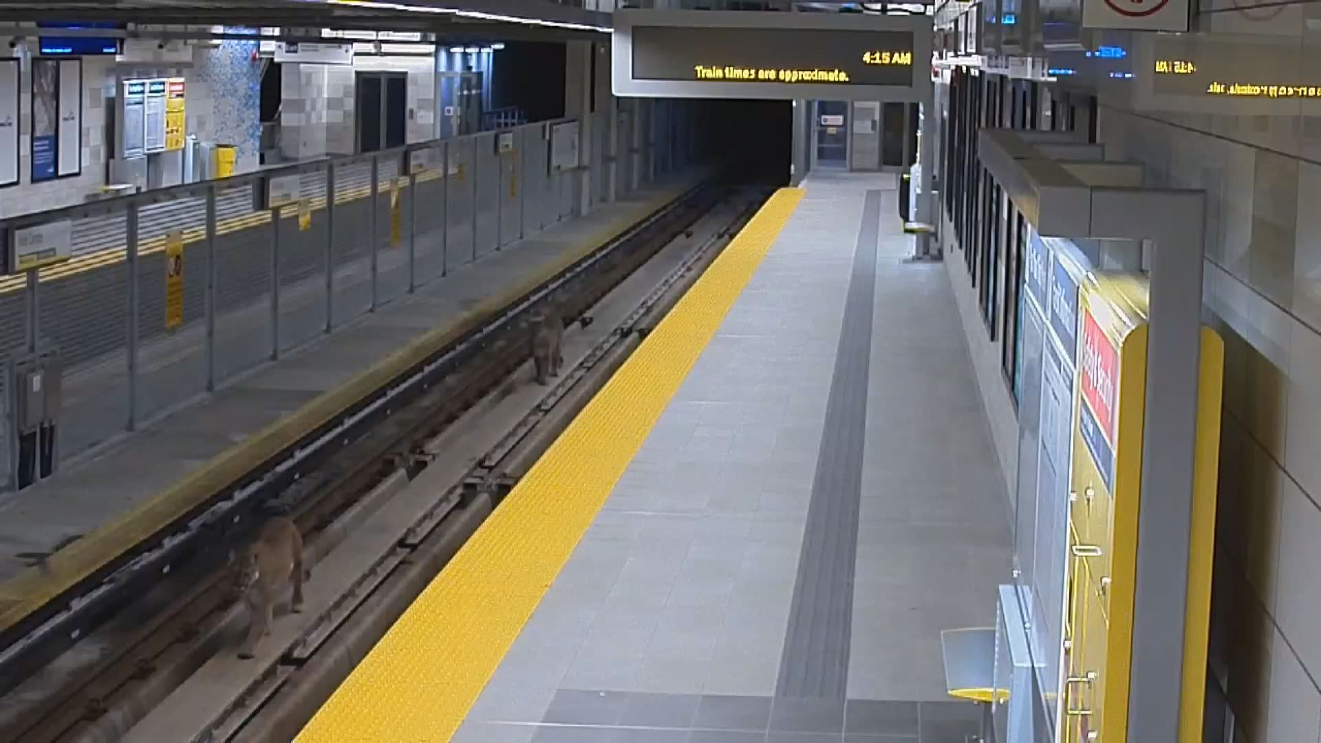 Cougars spotted on SkyTrain tracks in Port Moody