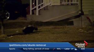 Skunks in Taradale cause concern