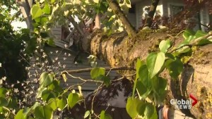 Tree falls on home in Port Coquitlam sending one to hospital