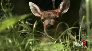 Province refuses to fund deer birth control plan for Oak Bay