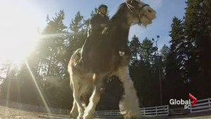VPD wants help naming new Clydesdale