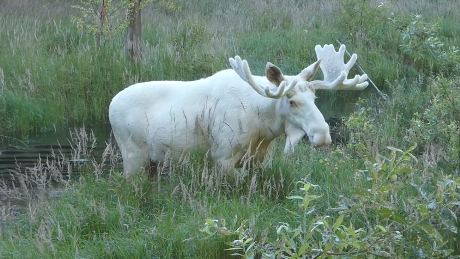 Rare All-White Moose Caught On Camera