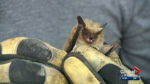 Bat colony now part of Saskatoon's Mayfair neighbourhood