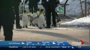 Penguin walk at the Calgary Zoo