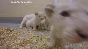 Toronto Zoo releases adorable new video of lion cubs