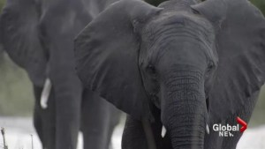 African elephant population declines 30% in 7 years