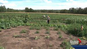 Community garden connects Edmonton's most vulnerable