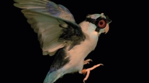 Tiny goggles fitted on birds to protect their eyes in Stanford research study
