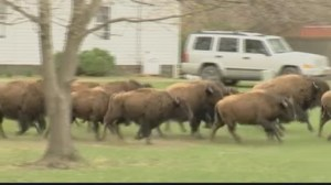 15 loose buffaloes shot and killed near Albany