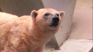 Stanley Park Zoo polar bear is dead