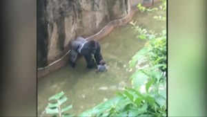 Witness captured video of Gorilla grabbing and dragging around child at Cincinnati Zoo