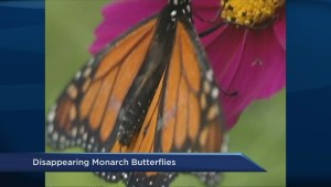 Monarch butterfly numbers in decline