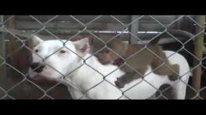 Raw video: Monkey adopted by dogs in South American home