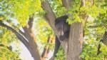 Black bear found in tree in Saskatoon