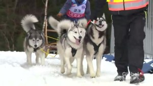Dog Mushing takes over Windsor Nova Scotia