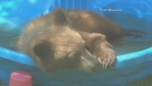 Bear takes a dip in kiddie pool while family watches