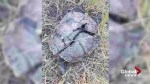 Malicious or accidental? Painted turtles are found dead in Lethbridge river valley