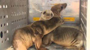 Why are starving sea lions washing up on San Diego's shores?