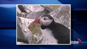 Warm waters could be affecting puffin breeding