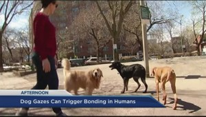 What does a dog's gaze do to humans?