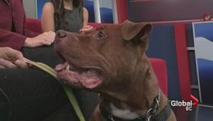 Adopt a Pet: Achilles