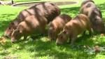 Toronto's capybara pups named after Canadian Rock band Rush