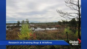 Bogs dried from human activity can contribute to the spread of wildfires: study