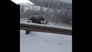 Grizzly bear feasts on dead moose on side of Alberta highway