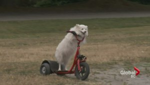 North Vancouver scooter dog wows crowds