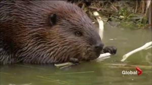 What Canadian scientists learned from Ward the beaver