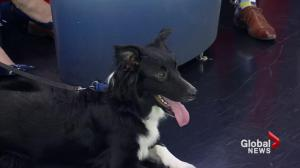 Adopt a Pet: Louie the Border Collie