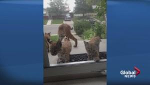 Brazen bobcats cause concern in southwest Calgary