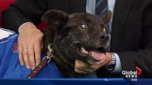 Adopt a Pet with SCARS: Blue the dog recovering from being impaled
