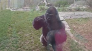 Gorilla cracks enclosure window after girl thumps chest