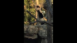 Video shows Panda Bei Bei getting adventurous climbing tree