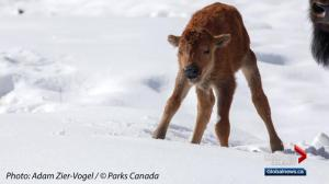 'It's a huge milestone': Bison calves born in Banff for first time in over a century