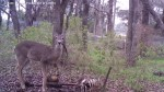 White-tailed deer caught on camera gnawing on human bones for first time