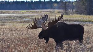 New app aims to better track Alberta's moose population