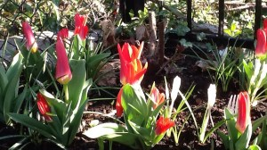 Canada 150 tulips disappoint with orangey-yellow blossoms