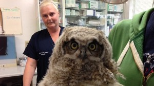 Norman the orphaned baby owl meets her new foster mom Casper
