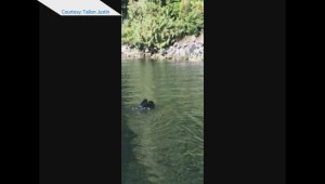 Raw: Momma bear carries two cubs across river