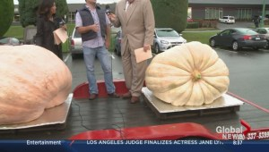 Langley farmer grows giant pumpkins