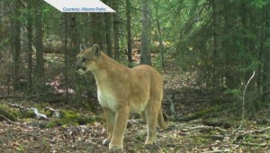 St. Albert teen recovering from Cougar attack