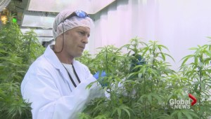 Medicinal marijuana plant already sold out