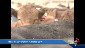 Mad cow disease confirmed in Alberta beef cow