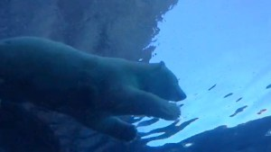 Polar bear enjoys swim at Journey to Churchill exhibit