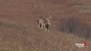 Extended: Bucks battling in Nose Hill Park
