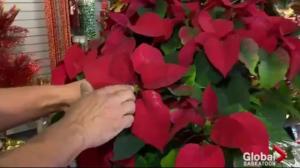 Gardening Tips: Christmas plants