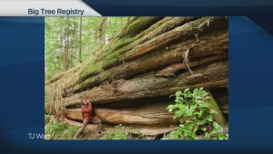 BC Big Tree Registry needs your help