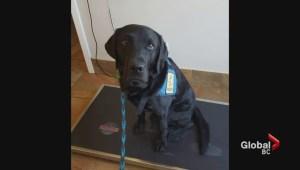 West the trauma dog joins East Kootenay RCMP